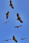 Griffon vultures above the Kofinas mountain