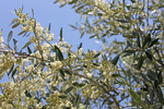 blooming olivetree