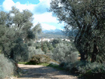 a sand path leading you trough the olive trees